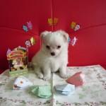 チワワロング ホワイト&クリームクリーム (1)